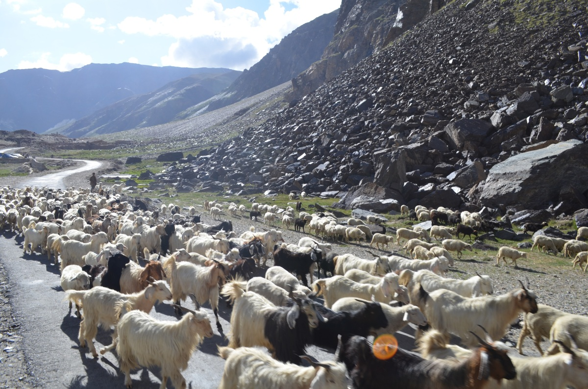 A trip of goats (and sheep) | Manali-Leh bus journey, August 2013