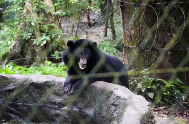 Rescued Asiatic black bears at Rehabilitation Center, Kuang Si Falls