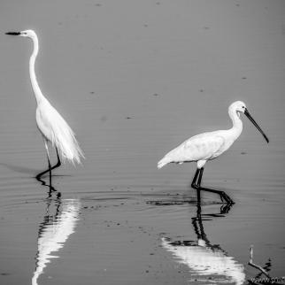 Little egret and Eurasian spoonbill