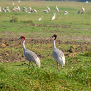 Sarus Cranes, Keoladeo National Park, Bharatpur, Rajasthan (India)