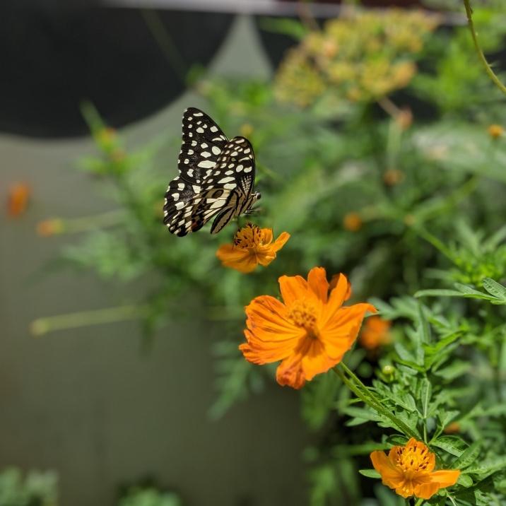 Lime Swallowtail butterfly on Cosmos Flower www.sreejithv.com