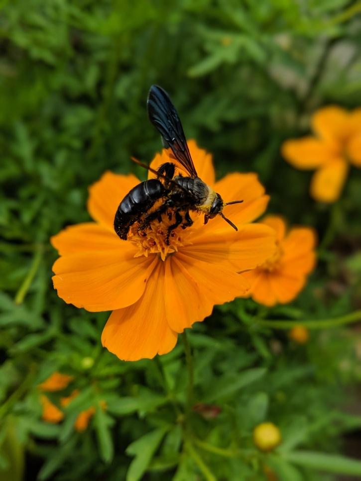 Bumble bee on Cosmos Flower www.sreejithv.com