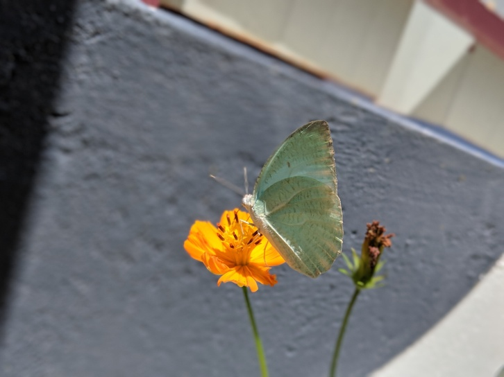 Emigrant butterfly on Cosmos Flower